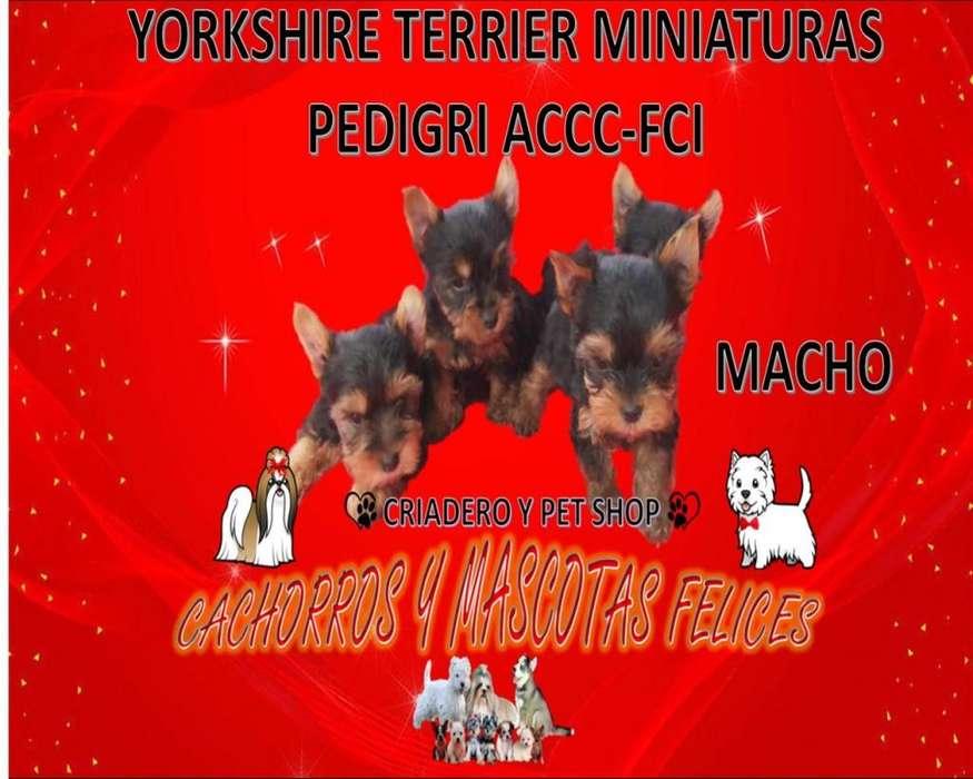 HERMOS CACHORR@S DE RAZA YORKSHIRE <strong>terrier</strong> MINIATURAS, CON OPCION A PEDIGRI ACCC-FCI VENDO ENVIÓ A TODO EL PAÍS