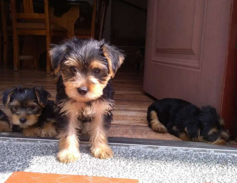 VENDO <strong>cachorro</strong>S YORKSHIRE TERRIER