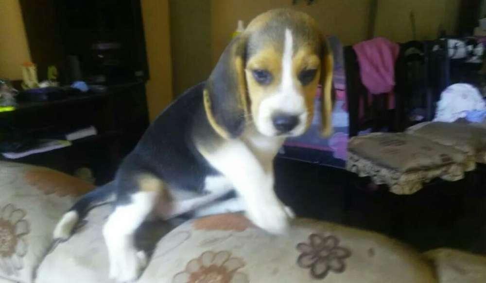 Beagle Cachorros A1