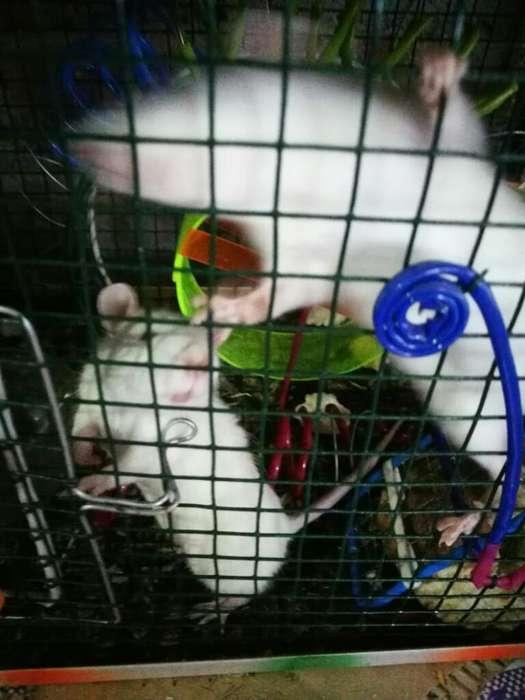 Vendo Ratas Blancas de Mascota