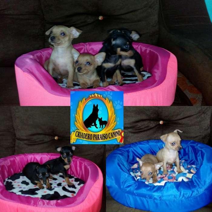 Preciosos Cachorros de Pincher Mini
