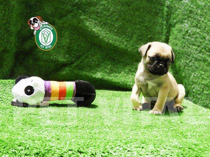 CACHORROS BELLOS PUG CARLINO EN PET VITAL !!!