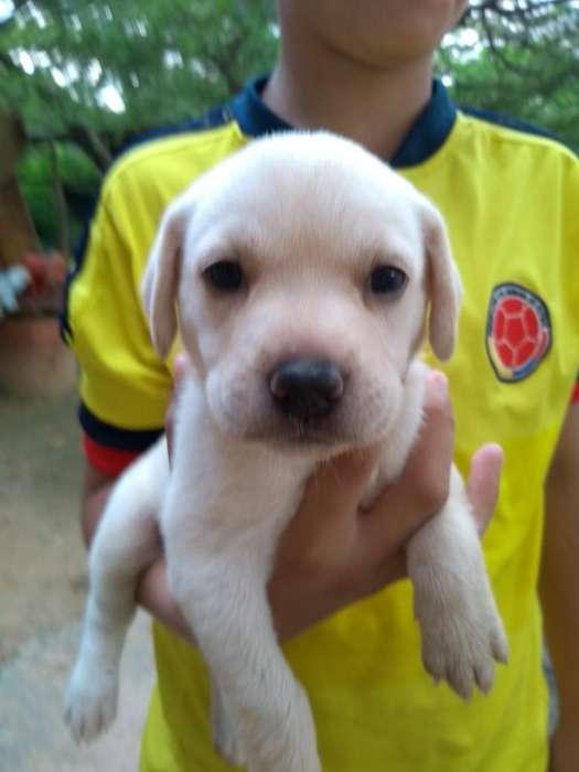 Se Venden Cachorros Labrador 3138159177