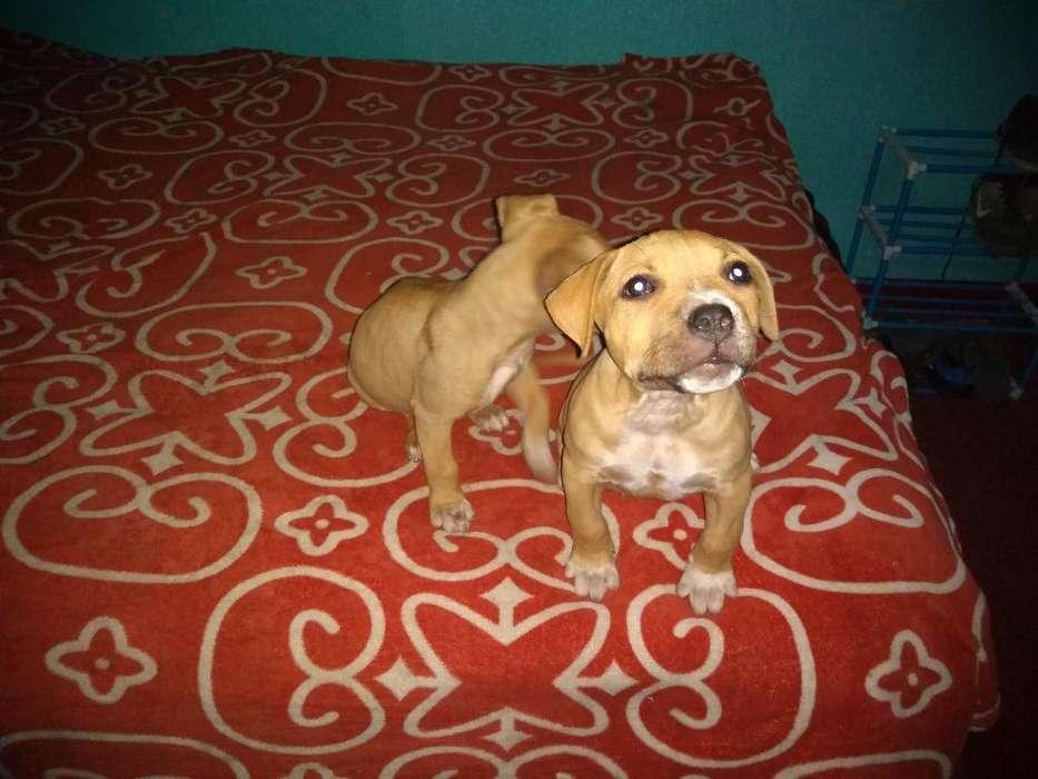 Se Vende Perro Pitbull de 4 Meses Y Medi