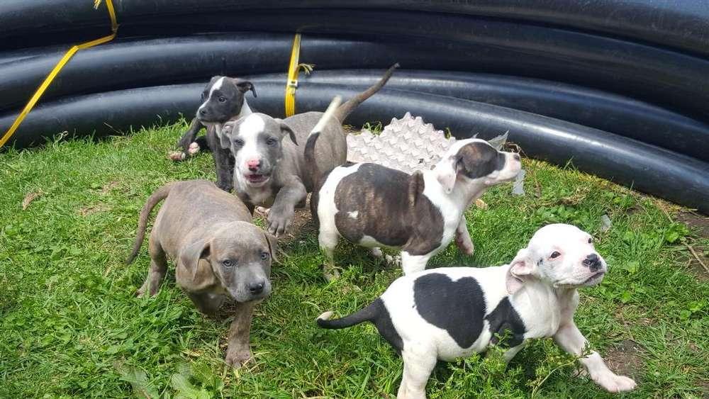 Vendo Cachorros Pitbull Inf. 0978646602