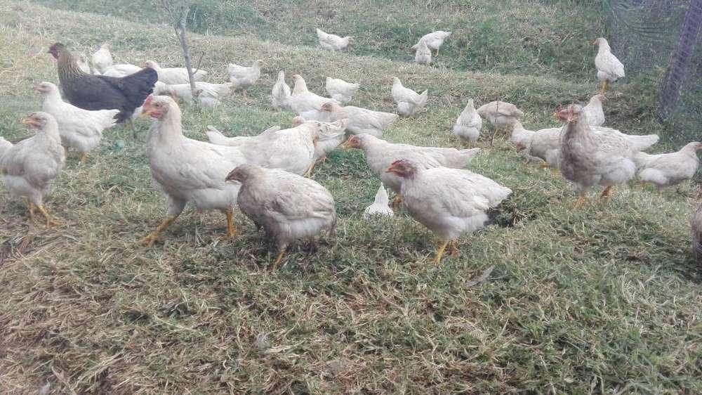 intercambio <strong>pollos</strong>