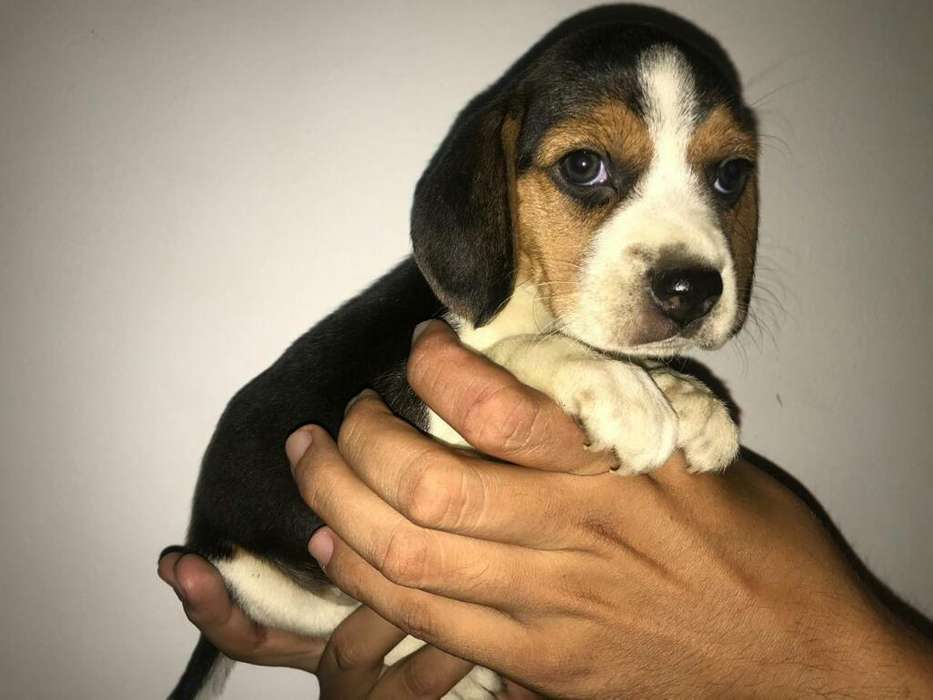 <strong>beagle</strong> Hembra Disponible
