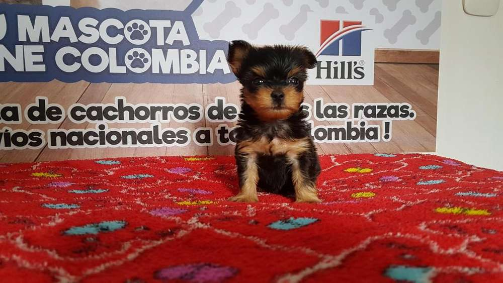 Toñeco Yorkshire <strong>terrier</strong> Mini travieso