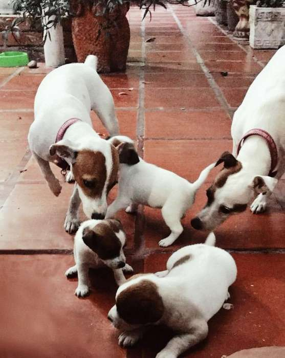 Cachorros Jack Russell <strong>terrier</strong>