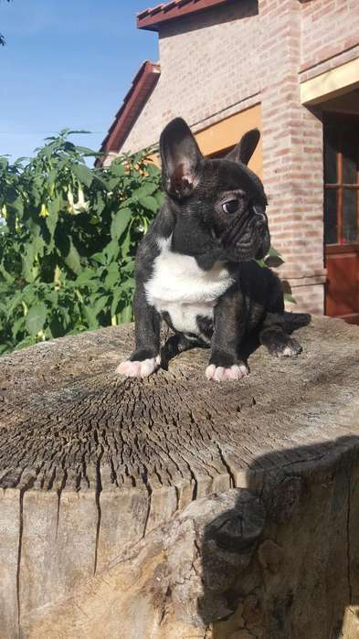 Bulldog Francés Machito