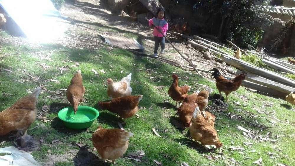 Venta de Huevos de Gallinas de Chacra