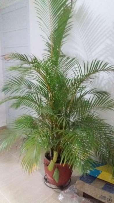 Hermosa Palma Ornamental