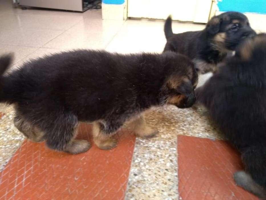 En Palmira vendo cachorros Pastor Alemán