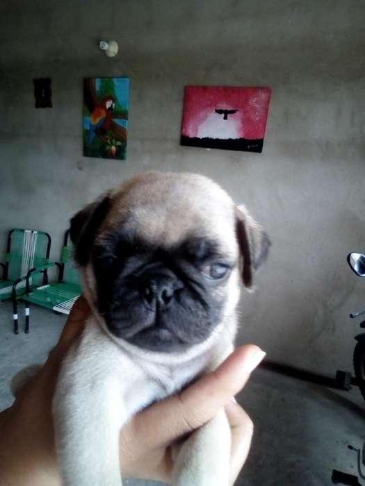 Vendo Cachorro Pug Macho Cuarenta Dias