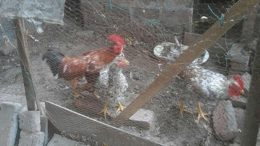 Gallos Y <strong>pollos</strong> Criollos