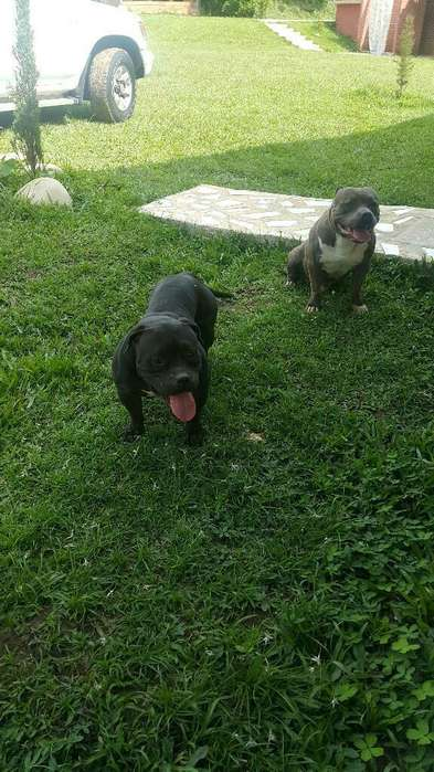 Ultimo American Bully Black Tri