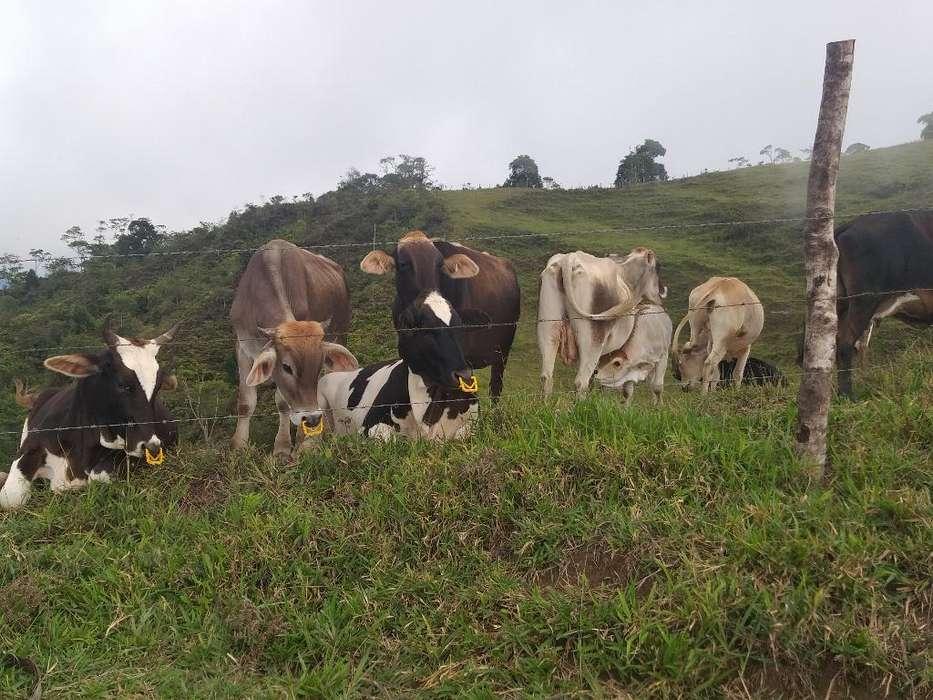 Vendo Hermosas <strong>vacas</strong> Lecheras