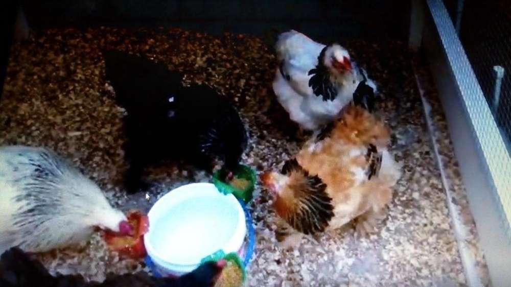 brahmas bramas gallina gallo pollo pollito