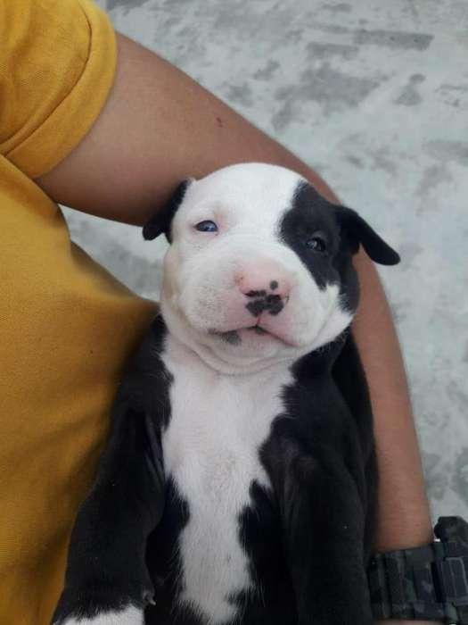 Venta de hermosas cachorras pitbull <strong>terrier</strong> stanford 3117680568