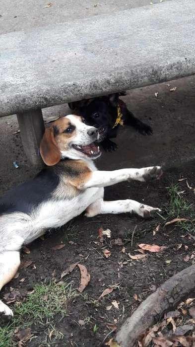 Lindo cahorro beagle en adopcion