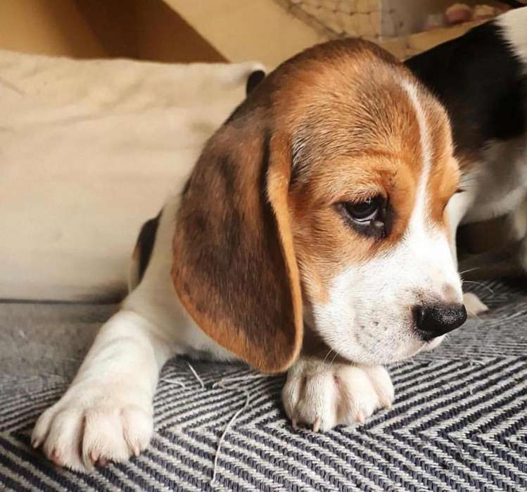 <strong>cachorro</strong> beagle tricolor