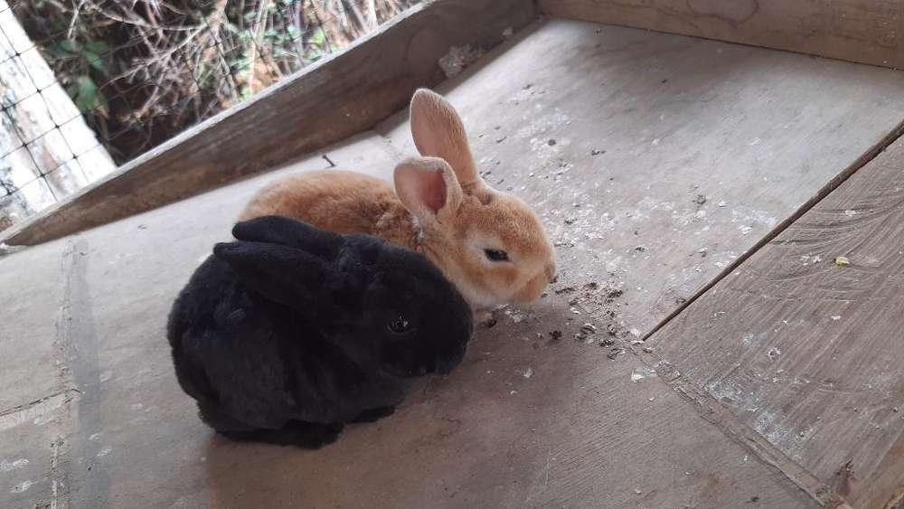 Vendo Conejo Mini Rex