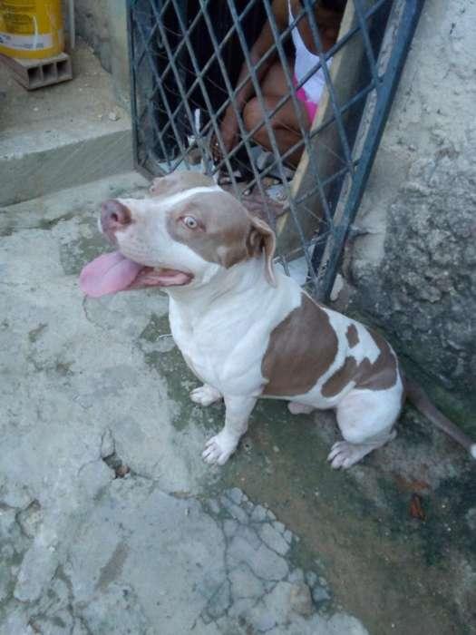 Vendo <strong>cachorro</strong>s Pitbull de 2 Meses
