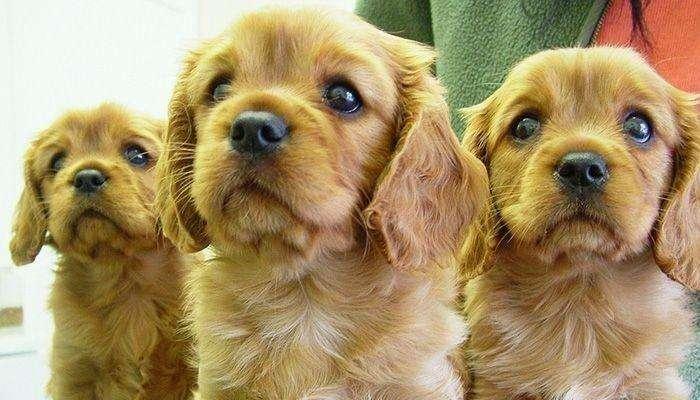 Cocker Spaniel CAchorros Excelentes Macho y Hembra