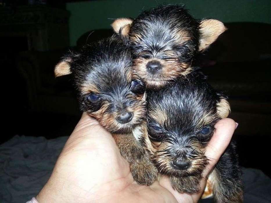 Yorkshire Terrier Miniaturas