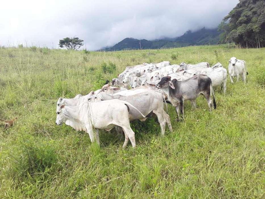Venta de ganado cebu Brahman de 200 a 420 kg de peso, en Risaralda y en Caldas.