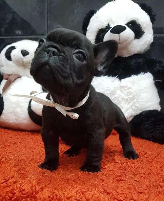 Venta de <strong>bulldog</strong> Frances 3