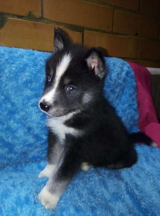 Hermoso <strong>cachorro</strong> Husky Siberian