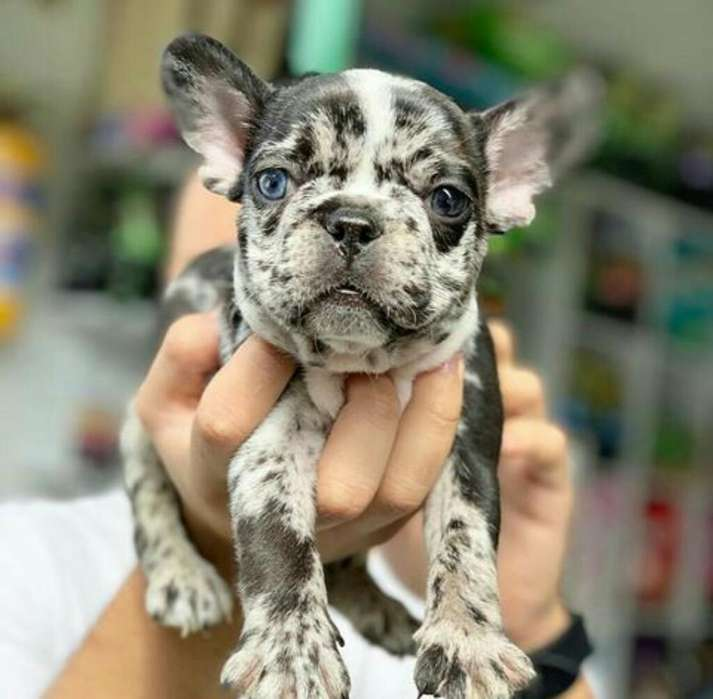Hermoso Bulldog Frances Merle