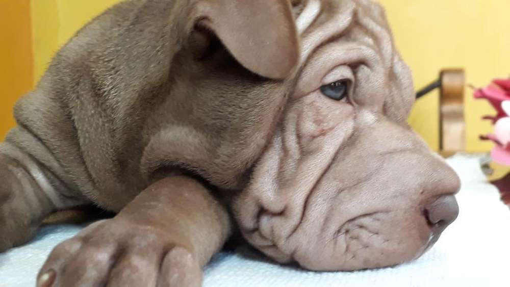 Cachorros de Shar Pei (raza Pura)