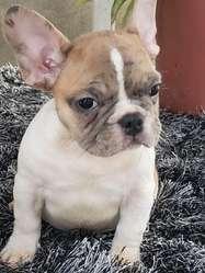 Hermoso bulldog francs
