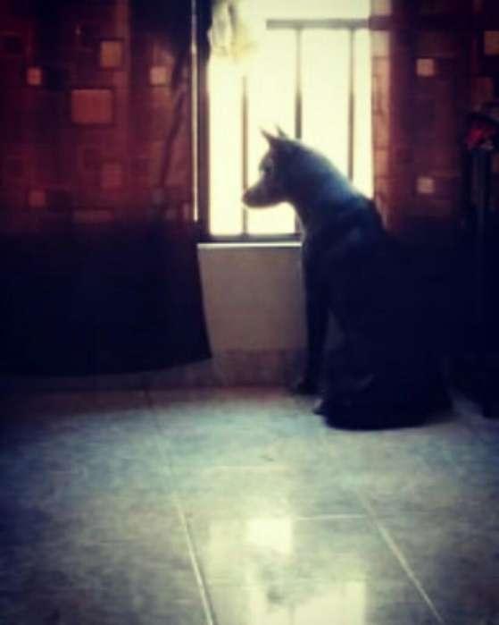 Alaska Lobo Negro