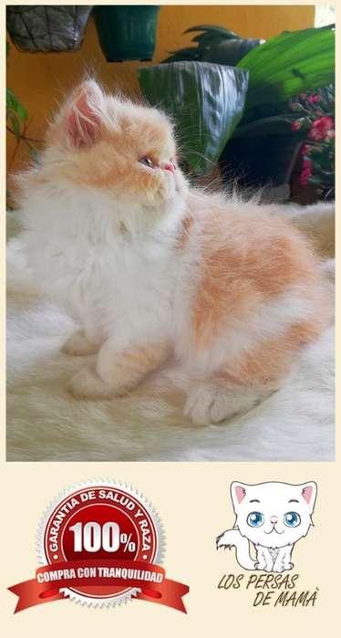Gatos Persas de Criadero Especializado