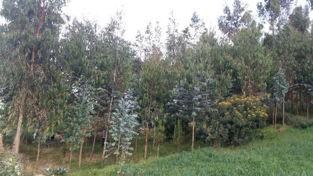 Oferta 250 Plantas de Arboles Mas Chacha