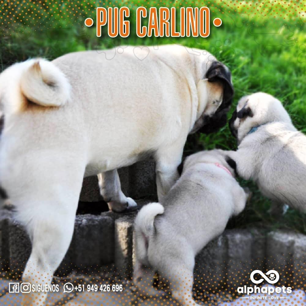 IMPACTANTES CACHORROS PUG CARLINO ENVÍO NACIONAL E INTERNACIONAL ALPHA PETS