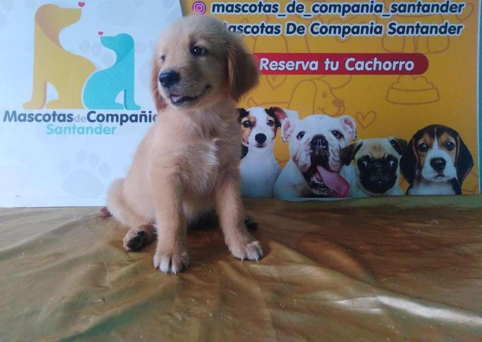 Maravillosos <strong>cachorro</strong>s Golden