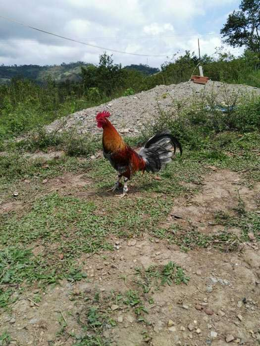 <strong>gallo</strong>s Y Gallinas