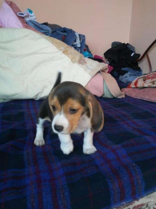Vendo Hermoso Cachorito <strong>beagle</strong>