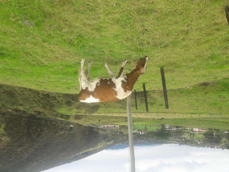 vaca holstein roja