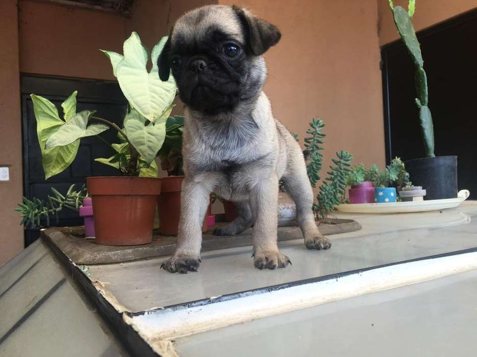 Cachorritos Pug Pedigri a