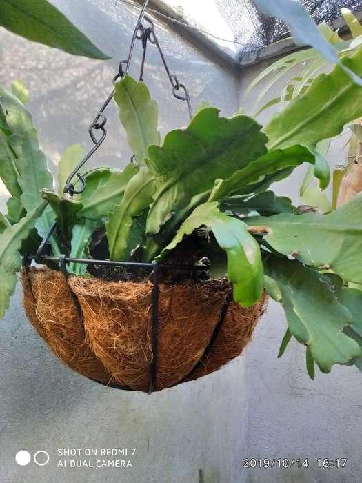 Planta Colgante Tipo Cactus Que Florece