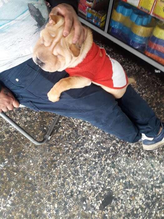 Se Vende Cachorro Shar Pei