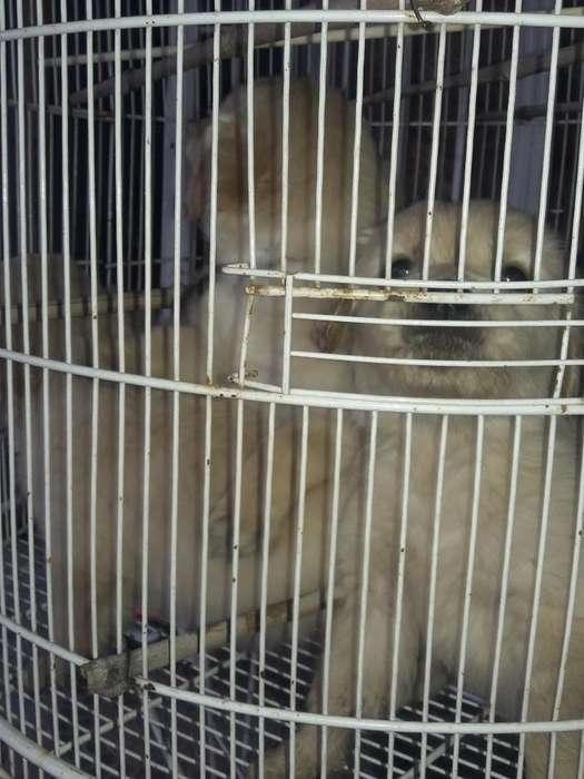 Golden Labrador Cachorros Cada Uno 4000