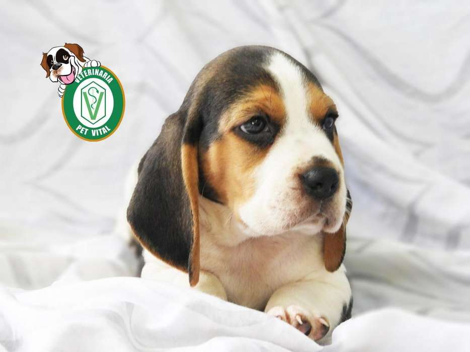 CACHORROS ORIGINALES BEAGLE TRICOLOR EN PET VITAL