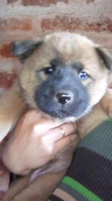 Vendó Cachorros Chouw Chouw