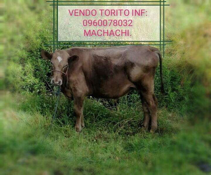 VENDO TORITO PARA REPRODUCTOR F1 HOLSTEIN X BROWN SWISS